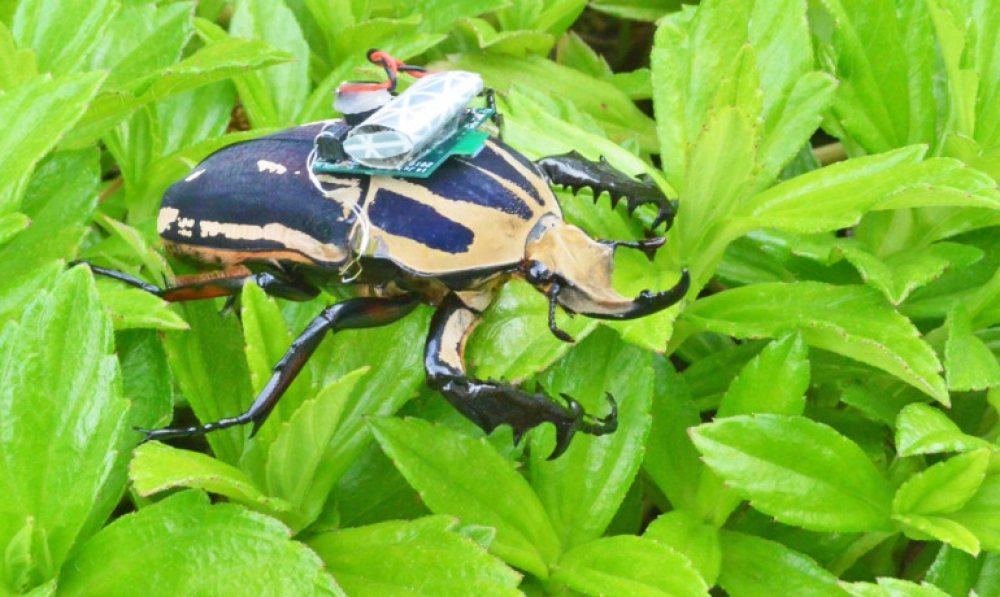 Scientists develop radio-controlled cyborg beetle